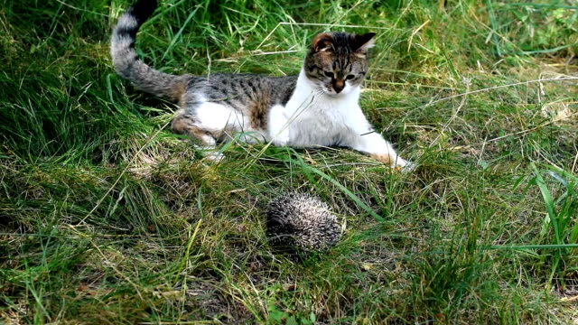 Cat plays with hedgehog outdoors video