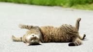 cat (kitten) rolling on street enjoying sun video