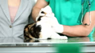 Cat treated by veterinarian video