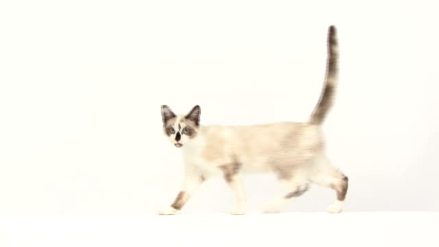 Cat walking, facing at the camera, then continues video