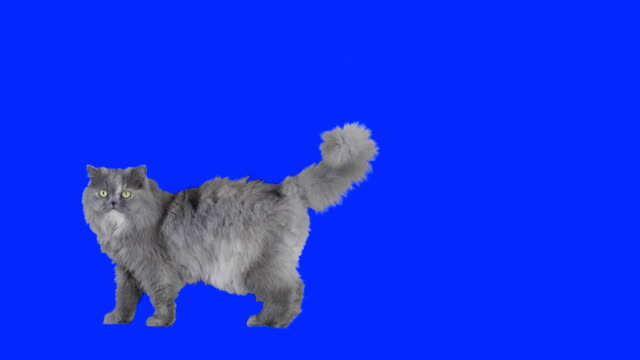 Cat walking on blue screen. video
