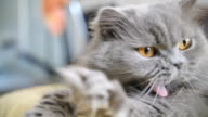 cat yawns slow motion, British blue cat lies and yawns close-up video