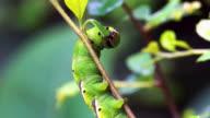 Caterpillar Close Up video
