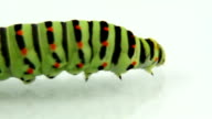 Caterpillar crawling and defecating video