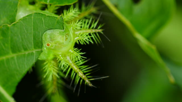 Caterpillar eating leaf in forest, Thailand. video
