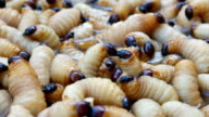 Caterpillar of red palm weevil video