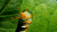 Caterpillar on a green leaves. video