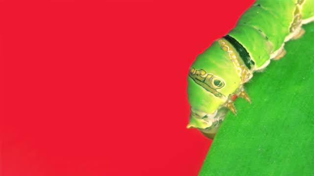 Caterpillar on green leaf video