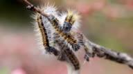 Caterpillar wrapped branchcaterpillar Aporia Crataegi on almond branches video