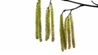catkins in the wind on white background video