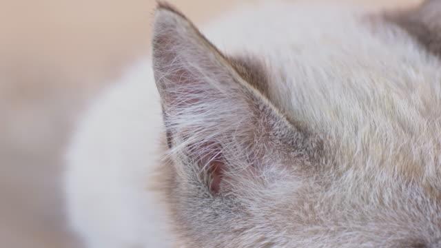 Cat's ear video