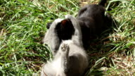 Cats Playing in Grass video