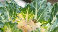 Catterpillar eating green leaf of cabbage VIDEO video