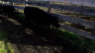Cattle being and herded through corrals for transportation to market video