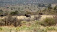 Cattle Cow Crossing Field HD 30P video