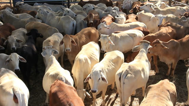 Cattle Cow Livestock in Sale Yard Pens video