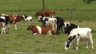 Cattle, Cows, Bulls, Farm Animals video