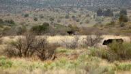 Cattle Crossing Field HD 30P video