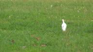 Cattle egret 1 video