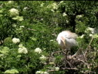 Cattle Egret Cleaning Her Nest video