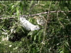 Cattle Egret Fight video