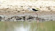 Cattle egret (Bubulcus ibis) in nature. video