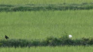 Cattle egret searching and eating food in the paddy field video