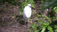 Cattle egret video
