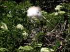 Cattle Egret With Chicks video