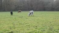 Cattle feeding on the field video