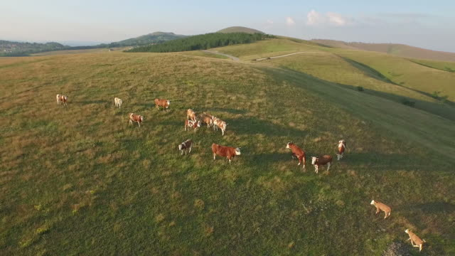 Cattle graze on the open meadows. Herd of cows, bulls, calf and oxen on pasture video
