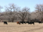 NTSC: Cattle Grazing in a Field video