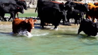 Cattle herd crossing river in slow motion video