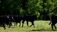 Cattle herd running through holding field video