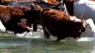 Cattle herd slowly crossing river video