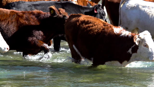Cattle herd slowly crossing river video