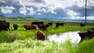 Cattle herd under a stormy sky gathering at a waterhole video