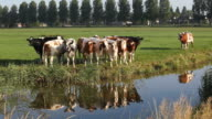 Cattle In A Row In Meadow Near Amsterdam,Netherlands video