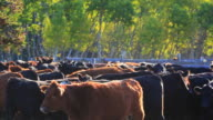 Cattle in Holding pen video