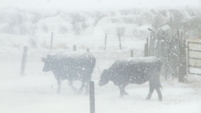 Cattle in snowstorm video