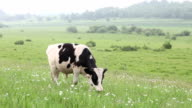 Cattle in the meadow eating grass video