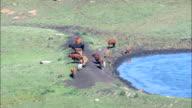 cattle near rorkes drift - Aerial View - KwaZulu-Natal,  uMzinyathi District Municipality,  Msinga,  South Africa video