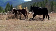 Cattle running in a straight line in slow motion video