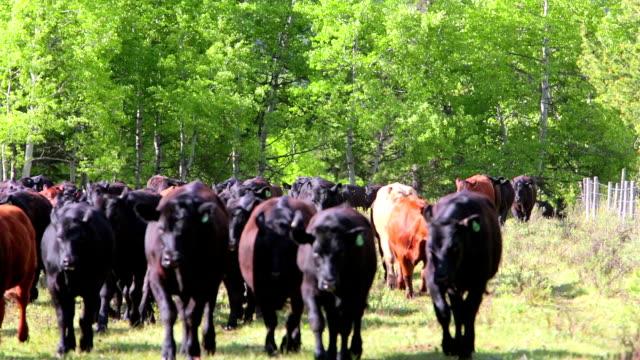 Cattle running through holding field video