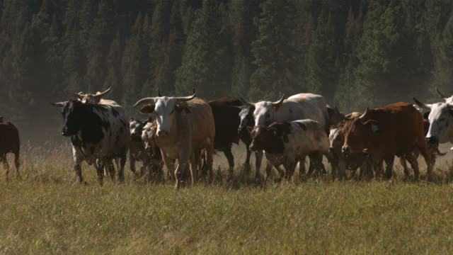 Cattle stampede, slow motion video