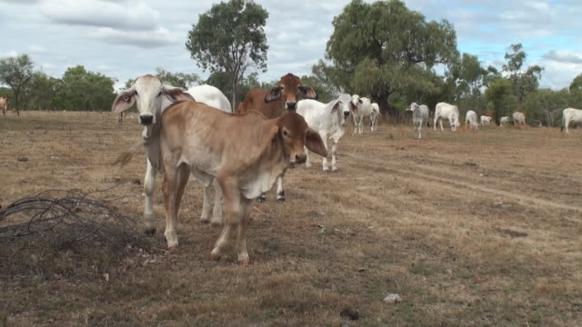 cattle video