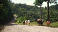 WS Cattle walking on a dirt road video