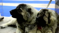 Caucasian shepherd dogs video