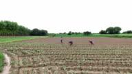 Cauliflower crop Plantation elevated view video