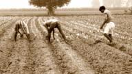 Cauliflower Crop Plantation video